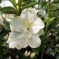White Gish Azalea
