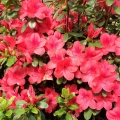 Dogwood Red Azalea