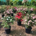 Azaleas at John Cole's Nursery