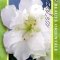Beverley Haerens Azalea