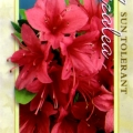 Christmas Cheer Azalea