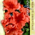 Coral Wing Azalea
