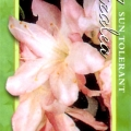 Honey Bunch Azalea