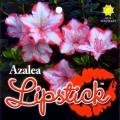Lipstick Azalea