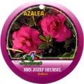 Mrs Jozef Heursel Azalea
