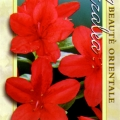 Red Robin Azalea