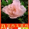 Sweet Sixteen Azalea