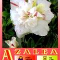 White Empress Azalea