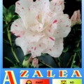 White Eureka Azalea