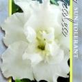 White Schame Azalea