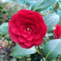 Little Red Riding Hood Camellia Japonica