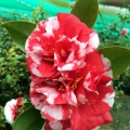 Dixie Knight Supreme Camellia Japonica