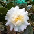 Elegans Champagne White Camellia Japonica