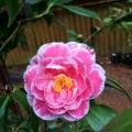 Hikaru Genji Camellia Japonica