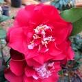 Cherries Jubilee Camellia Japonica