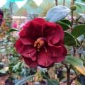 Jean Evans Red Camellia Japonica