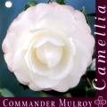 Commander Mulroy Camellia Japonica