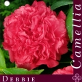 Debbie Camellia Japonica