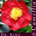 Dr King Camellia Japonica