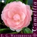 EG Waterhouse Camellia Japonica