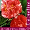 Emperor of Russia Varieg Camellia Japonica