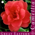 Great Eastern Camellia Japonica