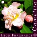 High Fragrance Camellia Japonica