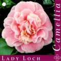 Lady Loch Camellia Japonica