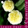Lemon Drop Camellia Japonica