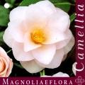 Magnoliaeflora Camellia Japonica