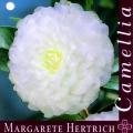 Margarete Hertrich Camellia Japonica