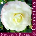 Nuccio's Pearl Camellia Japonica