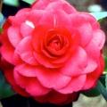 Scarlet O'Hara Camellia Japonica
