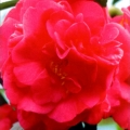 Simply Different Camellia Japonica