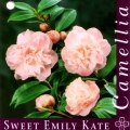 Sweet Emily Kate Camellia Japonica