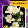 Transnokoensis Camellia Japonica
