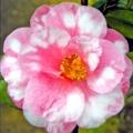 Waltz Time Variegated Camellia Japonica