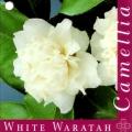 White Waratah Camellia Japonica