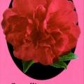 Paradise Ann Camellia Sasanqua