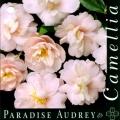 Paradise Audrey Camellia Sasanqua