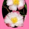 Paradise Betty Lynda Camellia Sasanqua