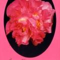 Paradise Beverly Camellia Sasanqua