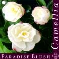 Paradise Blush Camellia Sasanqua