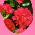 Paradise Caroline Camellia Sasanqua