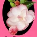 Paradise Gillian Camellia Sasanqua