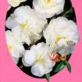 Paradise Helen Camellia Sasanqua