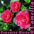 Paradise Hilda Camellia Sasanqua