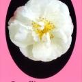 Paradise Jenni Camellia Sasanqua