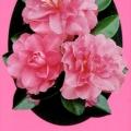 Paradise Jessica Camellia Sasanqua
