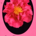 Paradise Joan Camellia Sasanqua